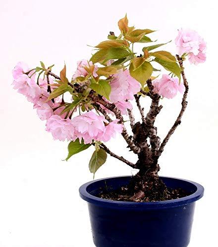 Bonsai – Prunus spec, Japanische Kirsche 198/62