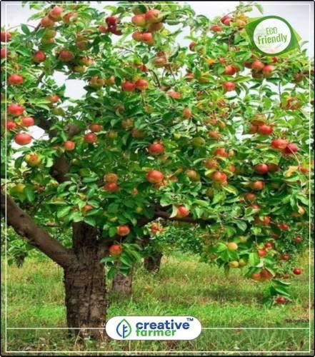 Pinkdose Fruchtsamen Roter Apfelbaum-Samen Pflanze für Outdoor-Fruchtsamen Gemüsegarten-Pflanzensamen 5Indoor, Outdoor-Küche Garten Pflanzensamen Seed