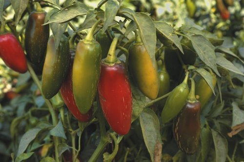 seekay Caliente Pimiento - jalapeño - 40 semillas