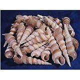 Jainsons Pet Products Sea Shell For Aquarium And Home Decoration 100 Gm 12-14 Pcs