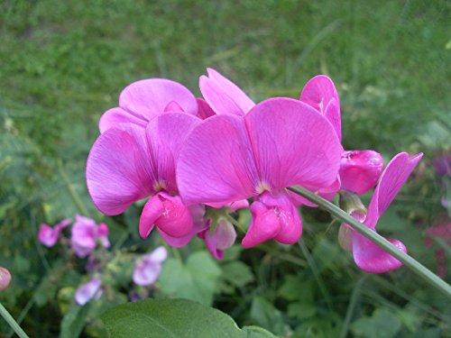 pois doux, ÉTERNEL VIVACES fleur rose blanche MIX 25 GRAINES frais