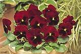 Amazon - Fiore - Viola del Pensiero - Matrice Rosso Blotch F1 - 75 Semi - Confezione Grande