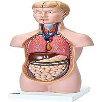 3B Scientific B22 Modelo de anatomía humana Mini torso, 12 Partes