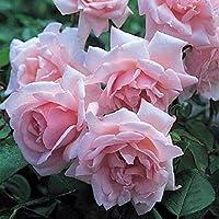 Portal Cool Rose Bush Escalador New Dawn fragante Agm New Season Rose