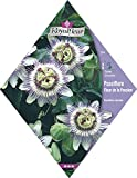 Royalfleur PFRV00554 Graines de Passiflore Fleur de la Passion