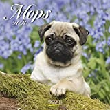 Mops 2020: Broschürenkalender mit Ferienterminen. Hunde-Kalender. 30 x 30 cm