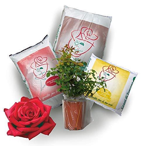 Kit Pronto Trapianto per rosa in vaso rossa Velvet Alibi Rose Barni, completo di terriccio, concime e stallatico per il trapianto e manutenzione della rosa. Pianta viva con kit di giardinaggio.