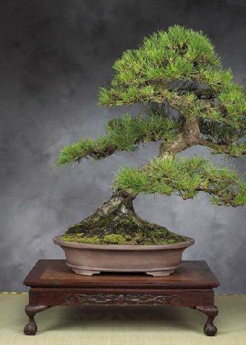 Tropica Lot de 30 graines de bonsaï pin noir du Japon (Pinus thunbergii)
