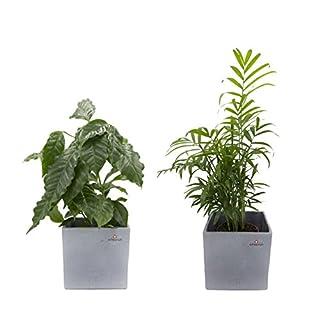 Dominik Blumen und Pflanzen, Pflanzen Frischluft Duo, Kaffee Pflanze mit Zimmerpalme im Scheurich Würfelumtopf grau-stone, 2 Stück, mehrfarbig