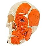 Schädel mit Muskeln, 3-tlg. Anatomie Modell, Anatomische Lehrmittel, Medizin