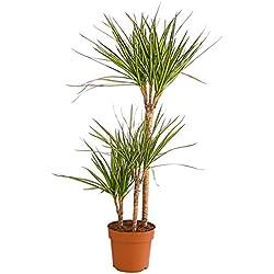 Dehner Drachenbaum Sunray, dreitriebig, ca. 110-120 cm, Ø Topf, 21 cm, Zimmerpflanze