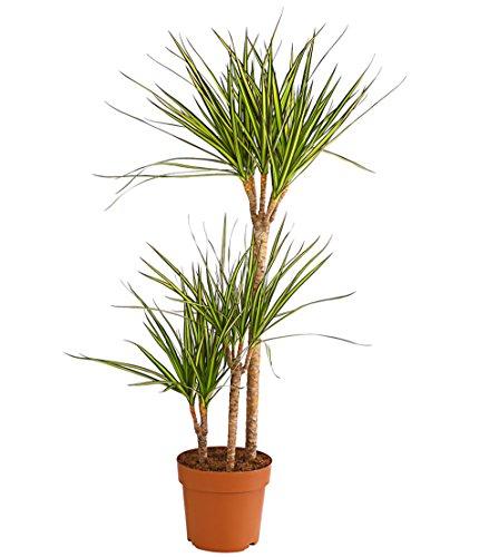 Dehner Drachenbaum'Sunray', dreitriebig, ca. 110-120 cm, Zimmerpflanze