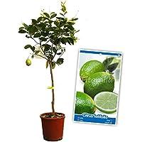 Lima - Árbol frutal de 2 años