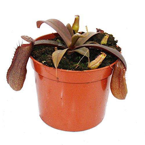 Kannenpflanze  <strong>Blattform</strong>   Linealisch