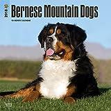 Bernese Mountain Dogs - Berner Sennenhunde 2018-18-Monatskalender mit freier DogDays-App: Original BrownTrout-Kalender [Mehrsprachig] [Kalender] (Wall-Kalender)