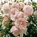 """Kletterrose """"New Dawn®"""" - zart rosafarben blühende, duftende Topfrose im 6 L Topf - frisch aus der Gärtnerei - Pflanzen-Kölle Gartenrose von Kölle's Beste bei Du und dein Garten"""