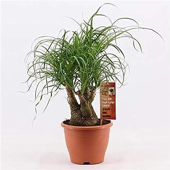 Elefantenfuß 30 cm Beaucarnea recurvata Flaschenbaum Wasserpalme Zimmerpflanze