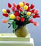 Pinkdose Los diferentes colores de las flores de tulipán tulipán holandés flores, plantas bonsái para el jardín de casa y patio, 101 PCS/paquetes: 24
