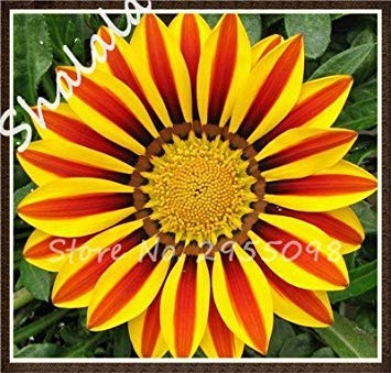 Vista Seltene 21 Farbenvielfalt Afrika Gazania Sonnenblume Medaille Daisy Arten Chrysantheme Topf Frische Blumen Samen 100 Teile/Beutel 9