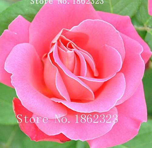 heiss-100pcs-orange-farben-regenbogen-rosen-samen-charming-chinese-blumensamen-bonsaipflanzen-fur-ga