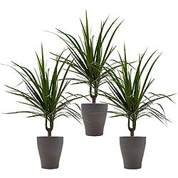 """Drachenbaum marginata-Trio mit Keramik-Blumentopf """"Orchid umber"""" von Scheurich - 3 Pflanzen und 3 Deko-Töpfe"""