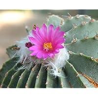 Geohintonia mexicana seeds