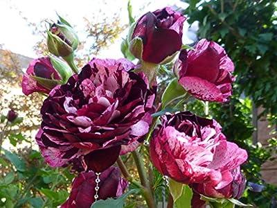 """Beetrose """"Magdas Rose ®"""" von Agel Rosen auf Du und dein Garten"""