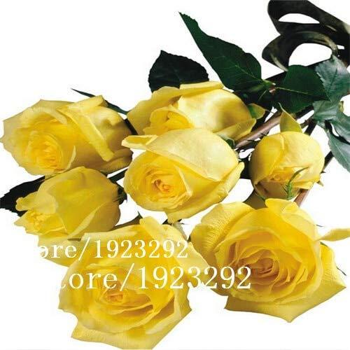 AGROBITS 100 Blue Dragon Rosa semina, bella striscia Rare cespuglio di rose pianta, giardino o fiore cantiere: alta qualitÃ