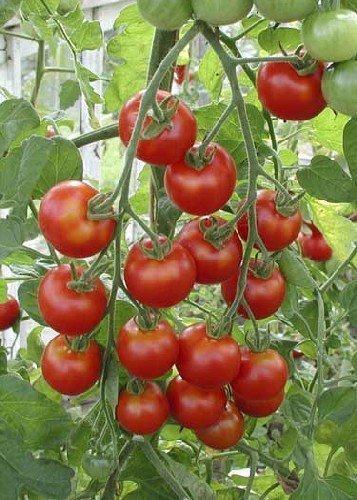 Tropica - Tomaten - Zuckertraube (Lycopersicon esculentum) - 10 Samen - Aromatische Cocktail - Tomate / BIO