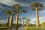 Astonish Las Semillas del Paquete: 10 Piezas de Exoti? Las Semillas de Baobab Bonsai SeedSeed Flor de la decoración de jardín de la semilla