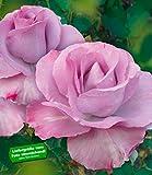 BALDUR-Garten Delbard® Parfum-Rosen 'Mamy Blue®', 1 Pflanze Duftrose Edelrose