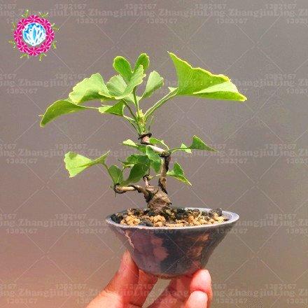 5pcs Ginkgobaum Mini Gingko Bonsai Samen Ginkgo Biloba Bonsai Samen Profi-Pack Zier Blätter Zimmerpflanze