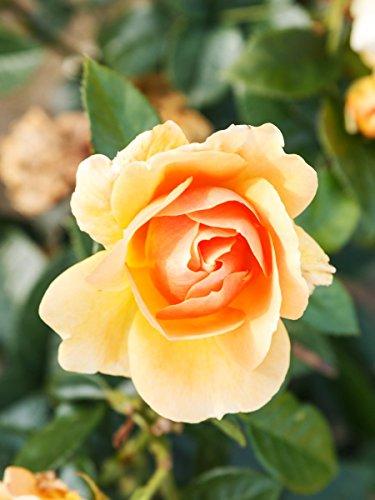 Rose Hansestadt Rostock Wurzelware Qualität A - floranza®