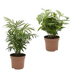 Dominik Blumen Und Pflanzen, 891142 Kaffee Mit Zimmerpalmen-duo