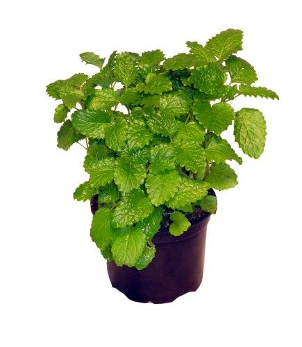 Zitronenmelisse, Marktfrische Qualität, 1 Pflanze - Pflanze Tee