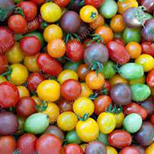 100 Graines de légumes de haute qualité des semences de tomate Arbre Semences de tomates de serre de tomates arbustives grimpantes Balcon couleur mélangée Potted
