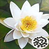 MaMaison007 10pcs weiße Schüssel Lotus Samen Garten Wasserpflanze