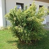 Gartenbambus - Topfpflanze - Horstbildender Bambus für den Garten 60 - 80 cm