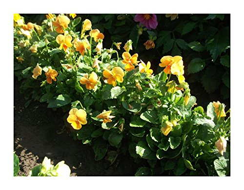 Les Graines Bocquet - Graines De Pensée Géante De Suisse Orange - Graines Potagères À Semer - Sachet De 0.3Grammes