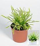 BALDUR-Garten Fleischfressende Pflanze Sonnentau,1 Pflanze