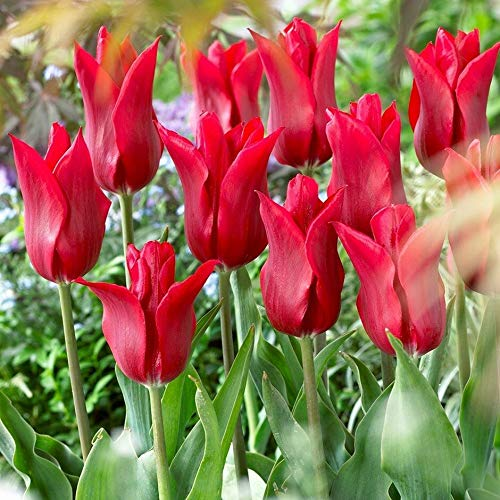 portal cool 10 x pieter de leur tulip bulbs. beautiful rosso scuro tulipano. facile da coltivare
