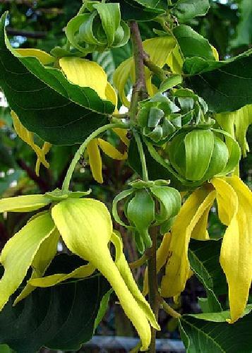 tropica-chanel-no-5-tree-ylang-ylang-cananga-odorata-10-seeds-tropical-magic