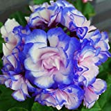 Nueva azules y rosas La plantación de geranios Semillas De Flores Raras doble Cplor jardín de 50 PC * bolsa de semillas Pelar