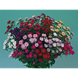 JustSeed Blume Aster Serenade Mix 150 Samen, Groß packung
