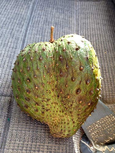 PLAT FIRM Germination Seeds PLATFIRM-100 Seeds of Soursop Tropical Fruit Tree Healing Tea Made from Leaves