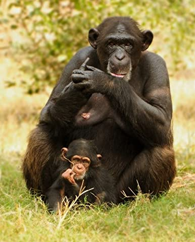 Chimpanzee Mother and Child, Monkey, Large A3 size 42 by