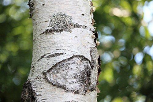 Japanische Weiße Birke (Betula platyphylla Japonica), 100 Samen