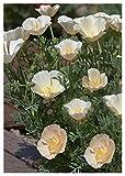 TROPICA - Kalifornischer Mohn `Champagne` ( Eschscholzia californica ) - 100 Samen