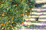 Leinwand-Bild 120 x 80 cm: 'Orange tree - Orange Farm in fang district at Chiang Mai, Thailand', Bild auf Leinwand