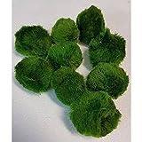 10 Stück 4-6 cm Chladophora Aegagropila - Mooskugel schafft kristallklares Wasser und hilft gegen Algen - biologischer Algenkiller